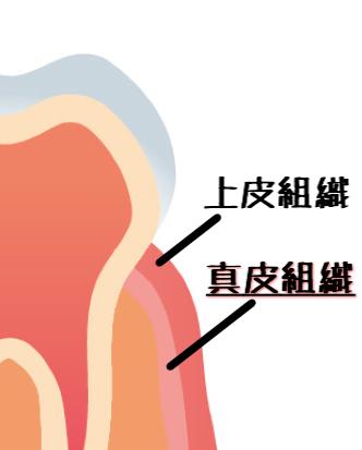歯周組織の構造図