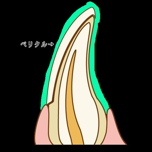 ペリクルが付着した歯の表面